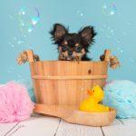 Sabes que podes dar banho ao cão com champô seco?